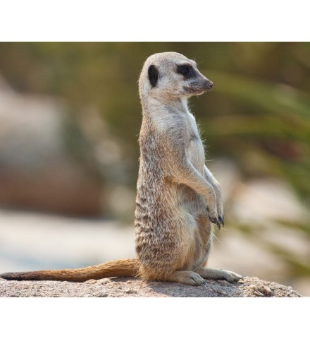 Meet the Meerkats with Lunch for Two Lincolnshire