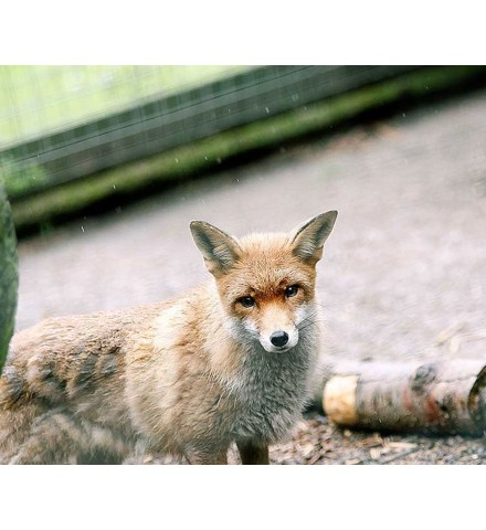 Carnivore Combo for Two Shropshire Fox