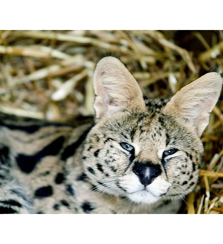 African Animal Encounter for Two Shropshire Serval