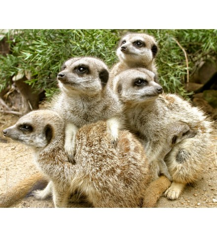Meet the Meerkats for Two Shropshire Group