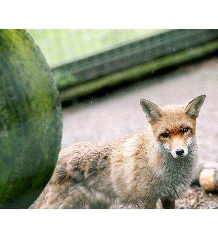 Red Fox Encounter for Two Lincolnshire Fox