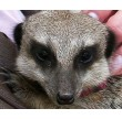 Meet the Meerkats for Two Shropshire Close