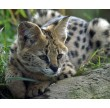 African Animal Encounter for Two Shropshire Lynx