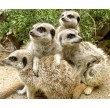 Meet the Meerkats with Lunch for Two Lincolnshire Group