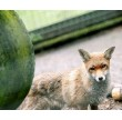 Red Fox Encounter and Lunch for Two Lincolnshire Fox
